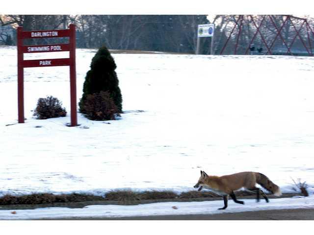 Fox photographed in Darlington
