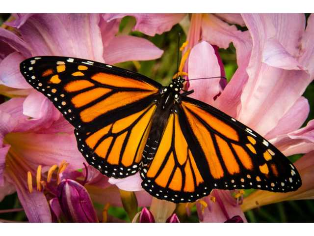 Helping preserve the 'king of butterflies'  –  Monarchs