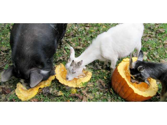 A large, unforgettable pumpkin