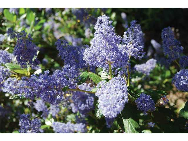 Ceanothus Sometimes Known As California Lilac Is A Cool Plant For Hot Places